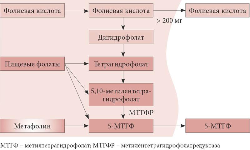 Рис. 1. Метаболизм фолатов в кишечнике